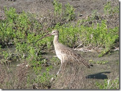 5645 Long Billed Curlew South Padre Island Texas