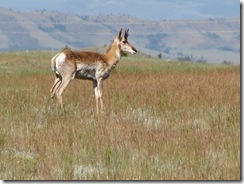 1293 Pronghorn at Ames Monument WY