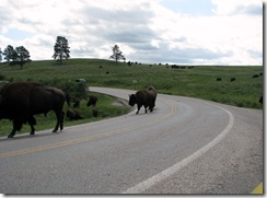 6468 Bison on US 16A Peter Norbeck Scenic Byway Iron Mountain Road SD