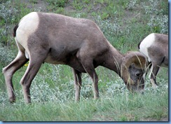 9916 Big Horn Sheep at  Jasper National Park AB