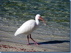 6981 Cutler Bay  FL walk White Ibis