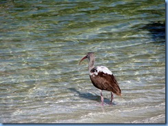 6989 Cutler Bay  FL walk juvenile White Ibis