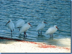 7005 Cutler Bay  FL walk White Ibises