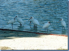 6994 Cutler Bay  FL walk white ibises