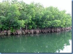 7042 Biscayne National Park FL Glass Bottom Boat - red mangrove trees
