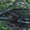 Eastern chipmunk Tamias striatus