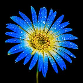 by Anshul Tiwari - Flowers Single Flower