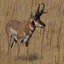 Prong Horn Antelope