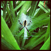 Black and yellow garden spider.