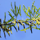 Acacia tree leaves