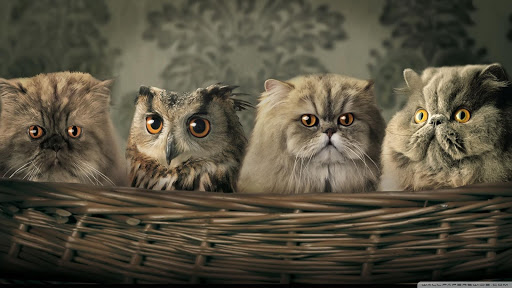 Owl HD Live Wallpaper Animals