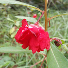 Garden Balsam