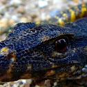 Asian water monitor lizard