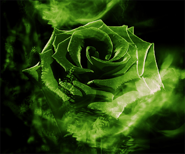 dark green rose wallpaper