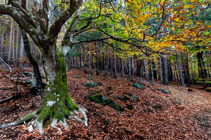 Hayedo de Tejera negra 5 by Eduardo Menendez Mejia - Landscapes Forests ( tejera, hayedo, españa, tokina 12-24, negra, guadalajara, menendez, eduardo, nikon, d5100, spain )