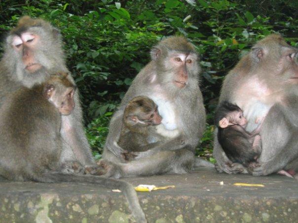 Macaque Monkeys