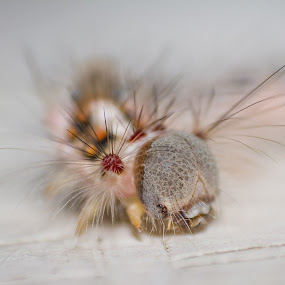 The spiky one by Prajwal Ullal - Animals Insects & Spiders ( macro, reverse lens, caon 18-55 is, india, caterpillar, canon 550d,  )
