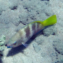 Rusty Parrotfish - juvenile