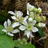 Dewberry Flower