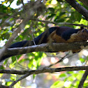 The Malabar giant squirrel