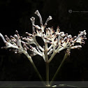 Chassalia curviflora