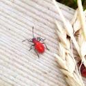 Box elder bugs, juveniles