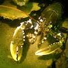 Noble Crayfish, Broad-fingered Crayfish