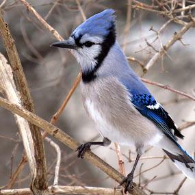 Blue Jay by Patti Hobbs - Animals Birds ( animals birds north american blue jay,  )