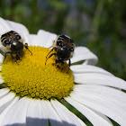 Hairy flower chafer beetles
