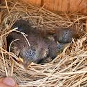 Eastern bluebirds (box #4, brood #2)