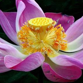 Lotus by Yusop Sulaiman - Flowers Single Flower (  )