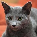 Русская голубая кошка обои icon