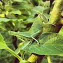 Green Bird Grasshopper