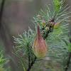 Pineneedle Milkweed