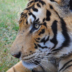 Pretty Kitty by Jamie Tambor - Animals Other ( big cat, cat, nature, tiger, kitty, animal,  )