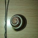 White lipped snail (Schnirkelschnecke)