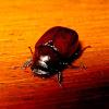 Small Scarab Beetle