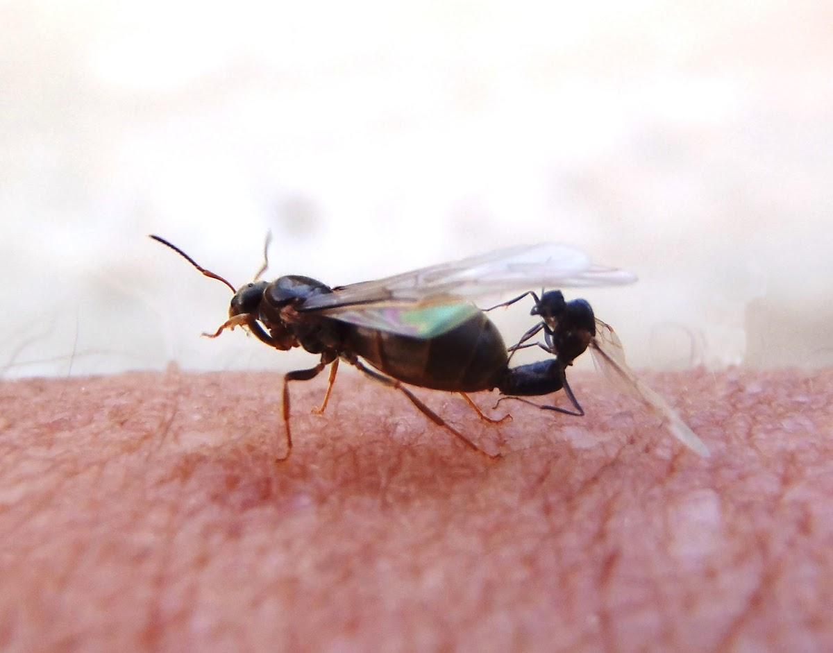 Hormiga alada (reina), winged ant