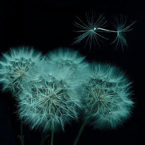 Pas de Deaux by George Kremer - Nature Up Close Other Natural Objects ( light painting, details, goat's beard, flowers, close-up, blossoms )