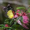 Delias Butterfly