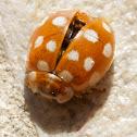 Calvia quatuordecimguttata (Blattfloh-Marienkäfer)