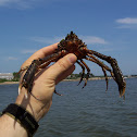 Portly Spider Crab