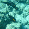 Orangeband Surgeonfish (na'ena'e)
