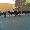 Cripple Creek Donkey Herd