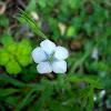 Flax / Primorski lan