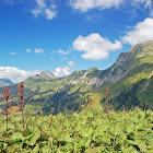 Alpine dock/Monk's Rhubarb
