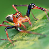 Wide Jawed Viciria Jumping Spider