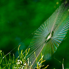 by Roy Walter - Nature Up Close Webs ( spiderweb, nature up close, web, refraction, prism )