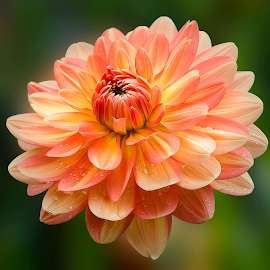 Dahlia by Carl Sieswono Purwanto - Flowers Single Flower