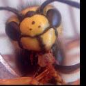 European wasp or German wasp